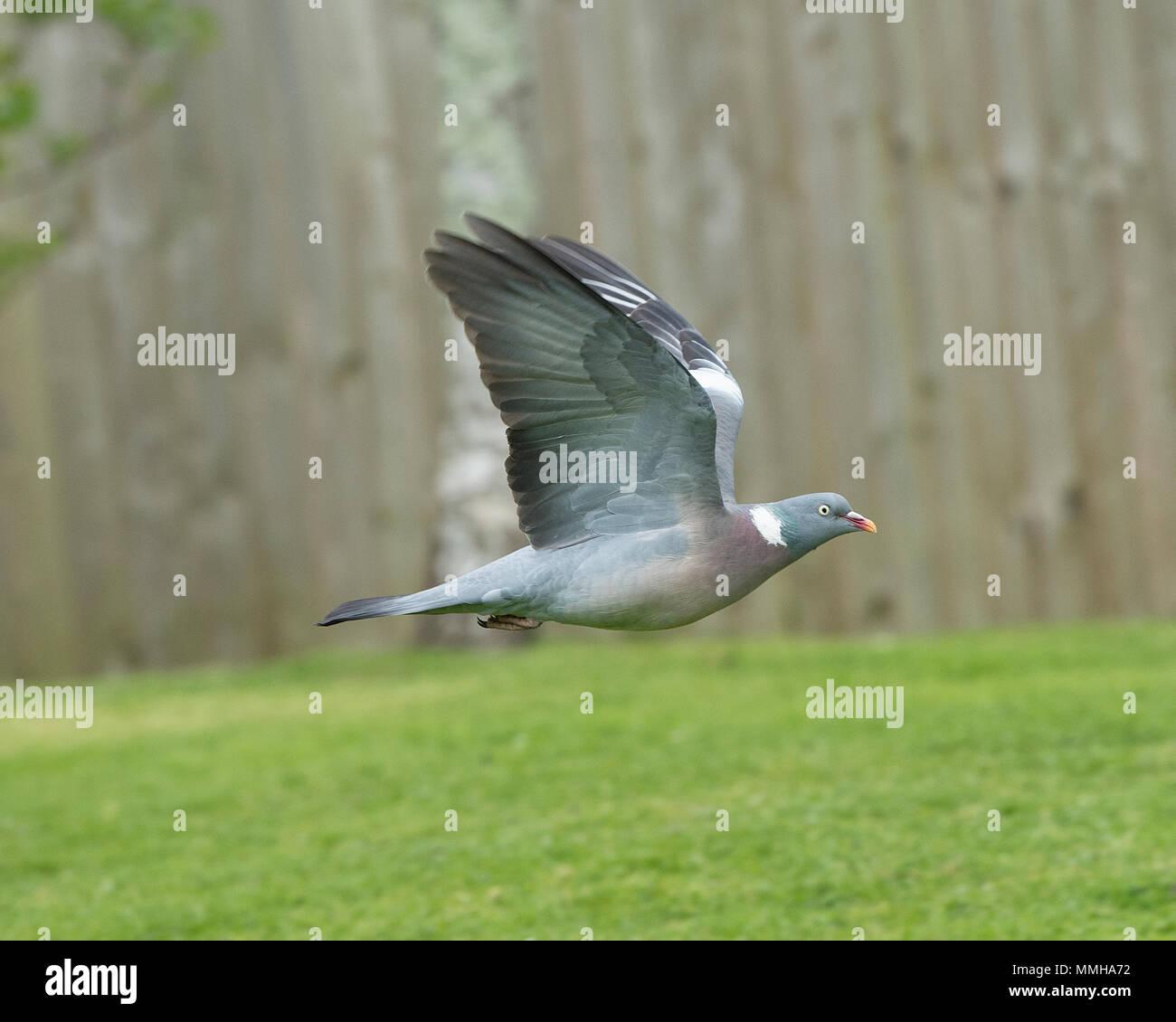 wood pigeon in flight - Stock Image