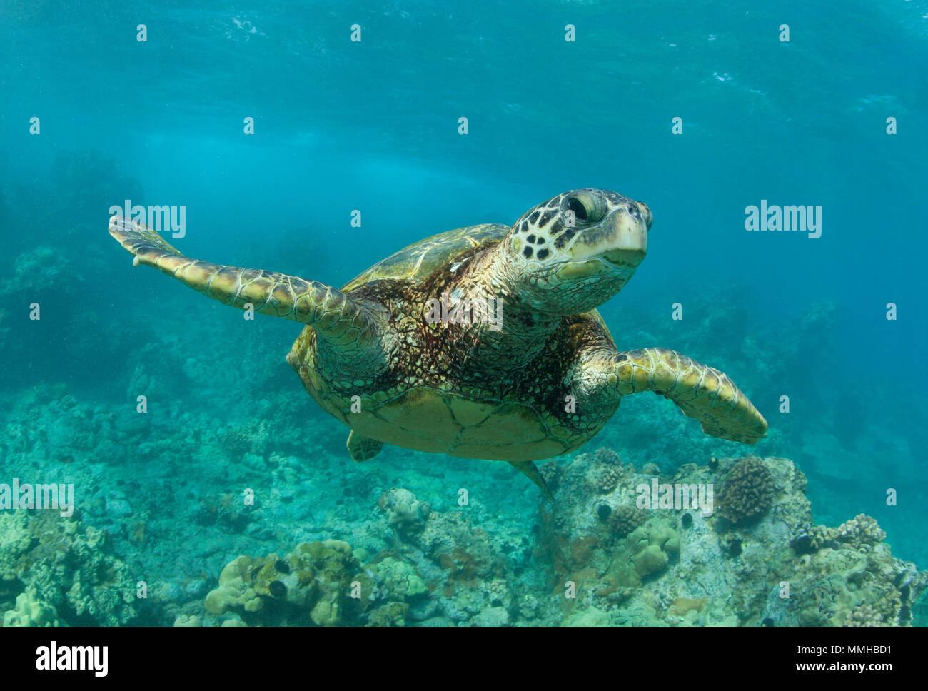 Green sea turtle swims off the coast of Maui. Stock Photo