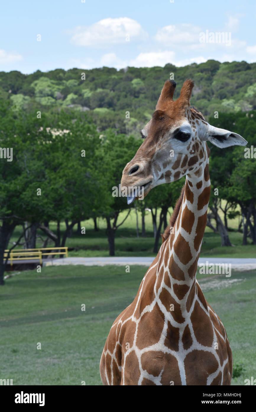 Giraffe Head in the Clouds - Stock Image