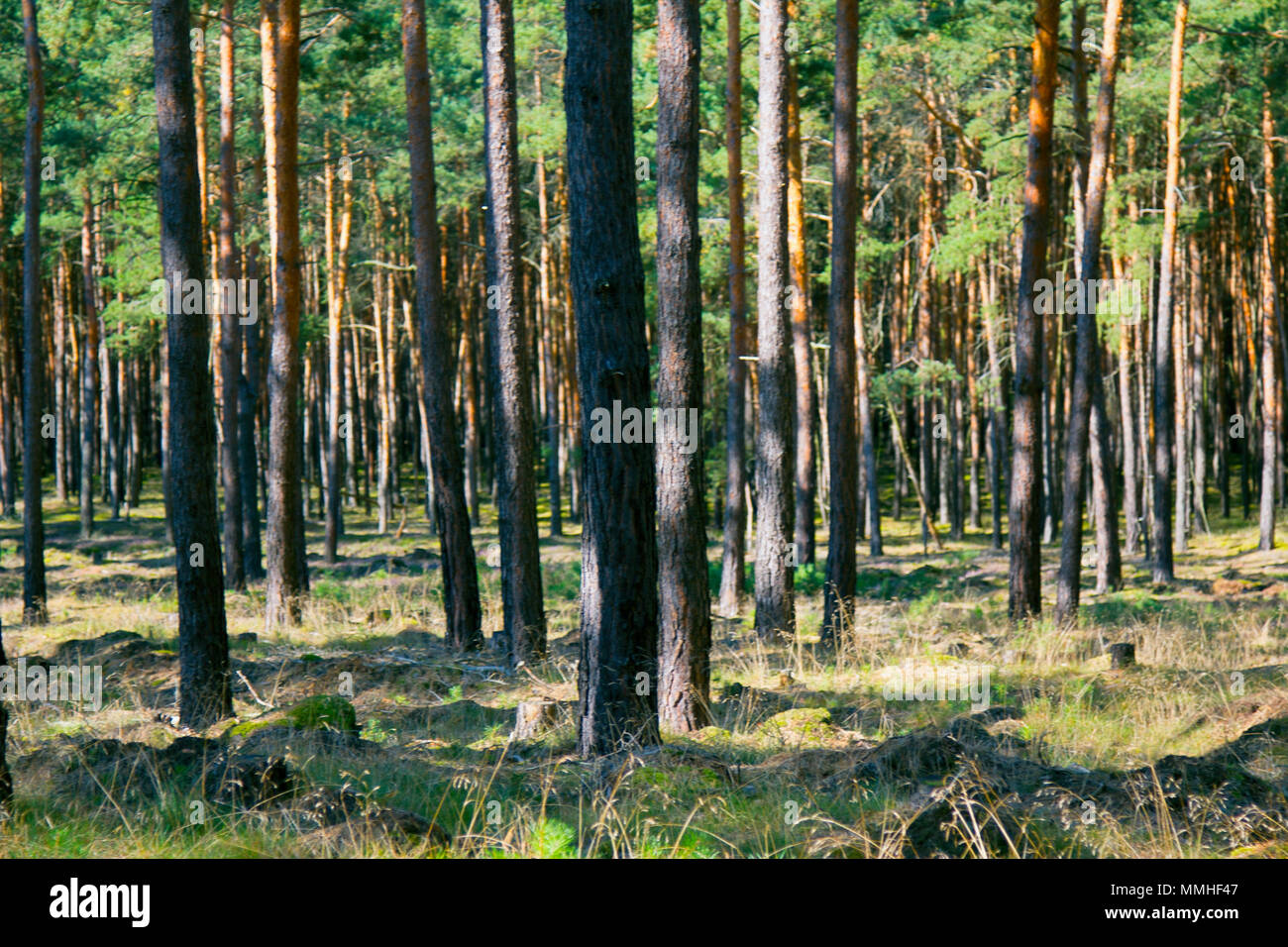 Central European forests. Old natural pine forest in Germany. Stock Photo