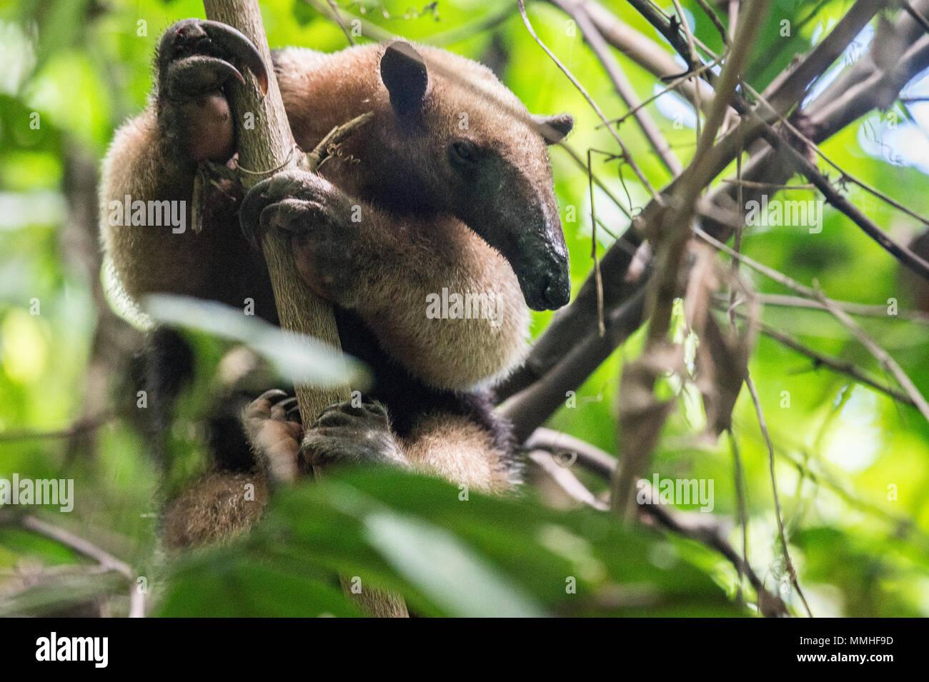 Northern Tamandua, Tamandua mexicana, Myrmecophagidae, Corcovado National Park, Costa Rica, Centroamerica - Stock Image