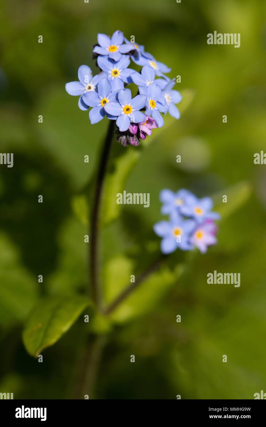 Field Forget-me-not (Myosotis arvensis) flower Stock Photo