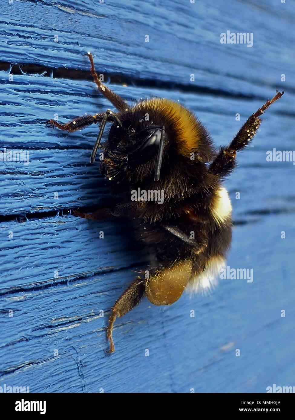 Honey bee - Stock Image