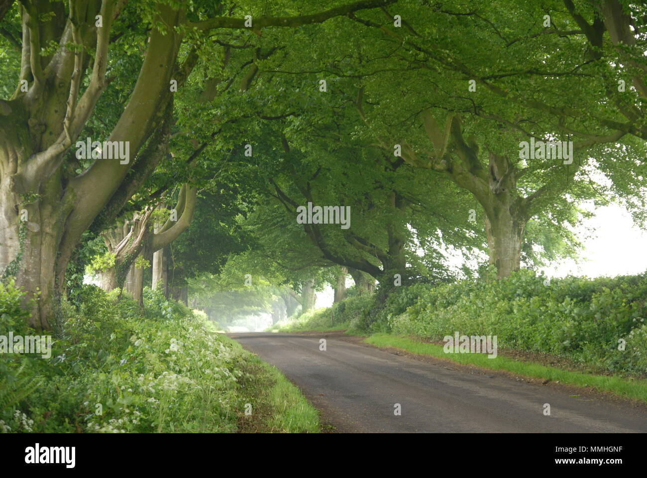 English rural countryside lane with a tunnel of beech hedges Stock Photo