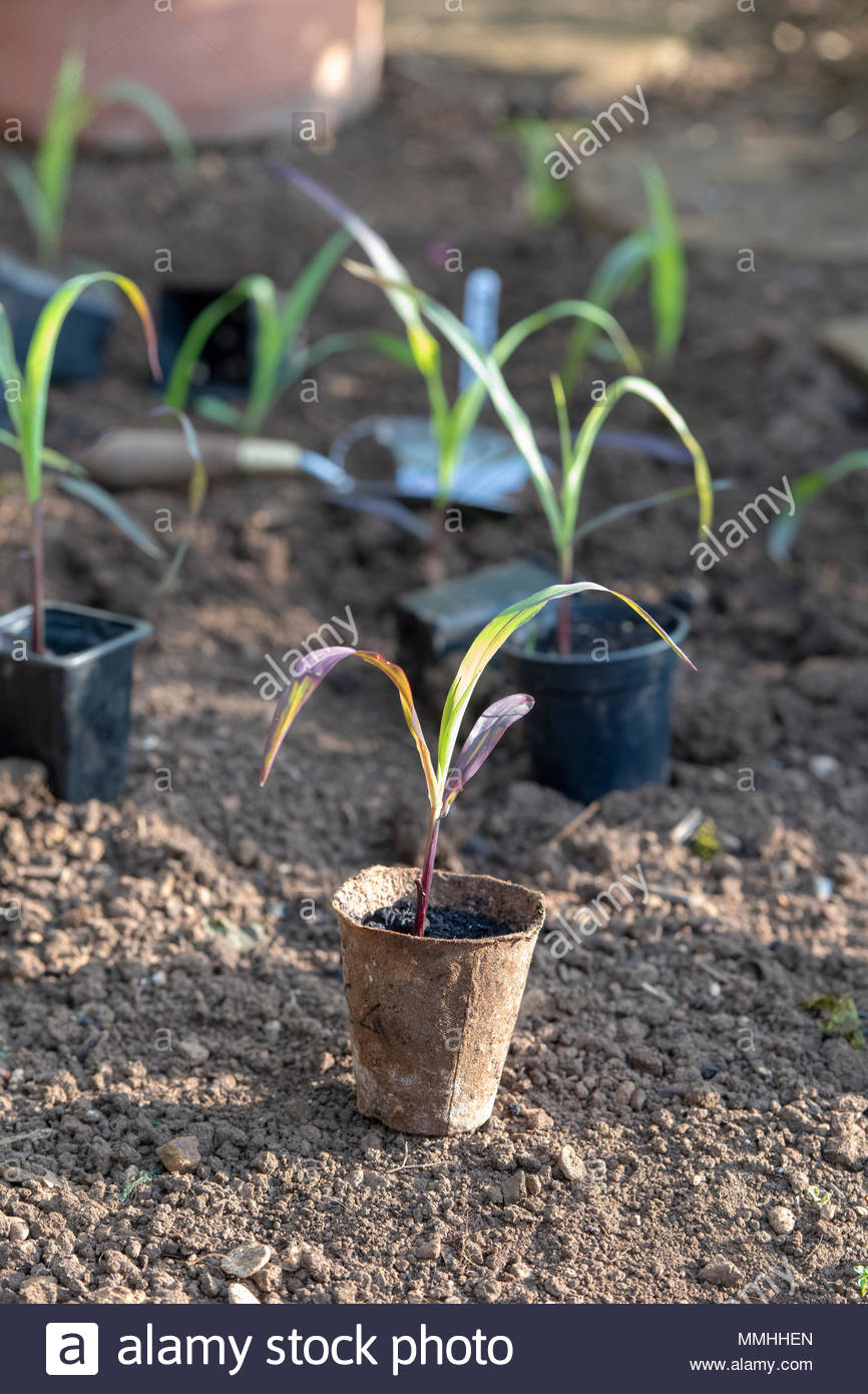 Double Red Sweetcorn plants in pots before planting out in a vegetable garden in spring. UK - Stock Image