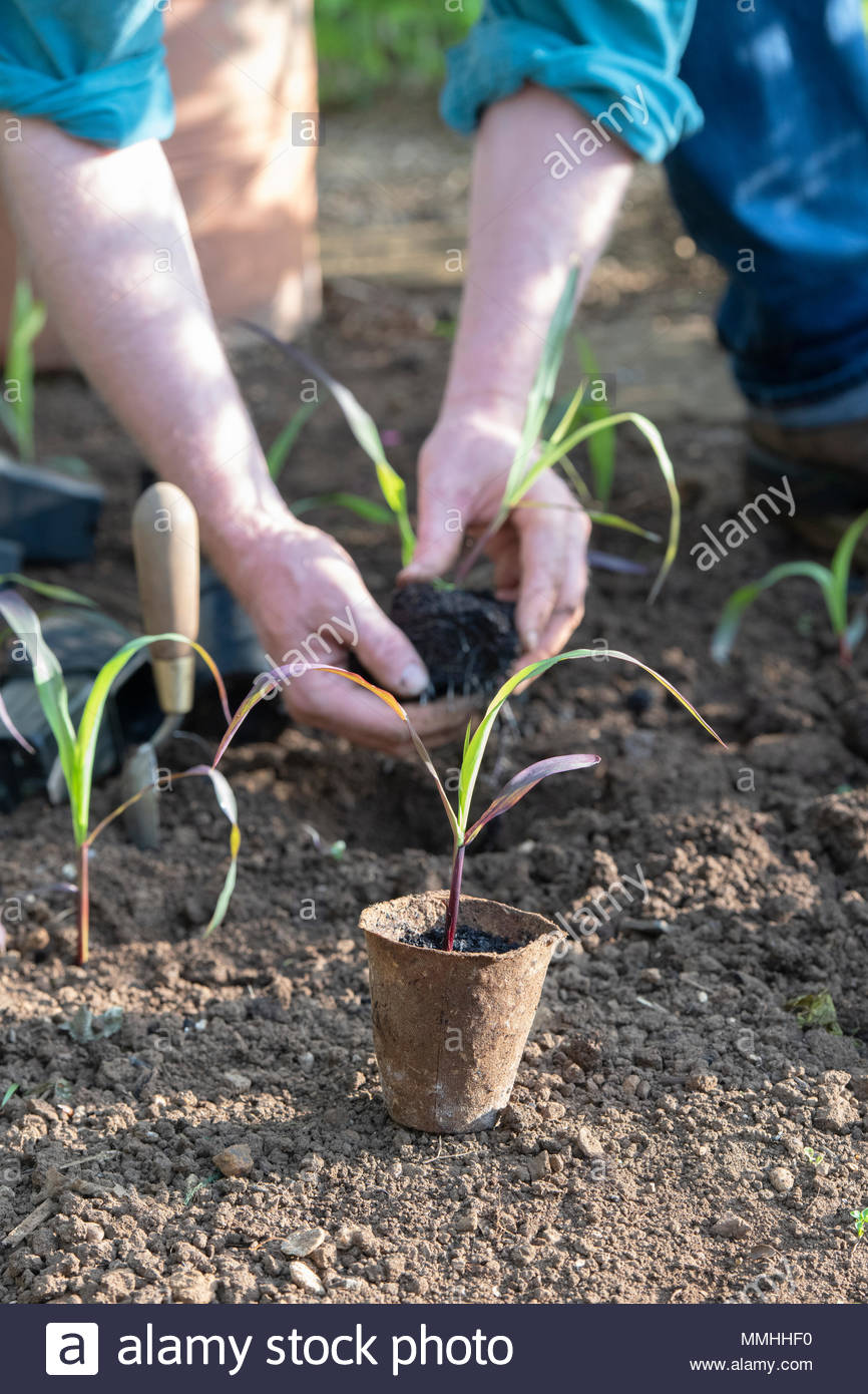 Gardener planting out young Double Red Sweetcorn plants in a vegetable garden in spring. UK - Stock Image