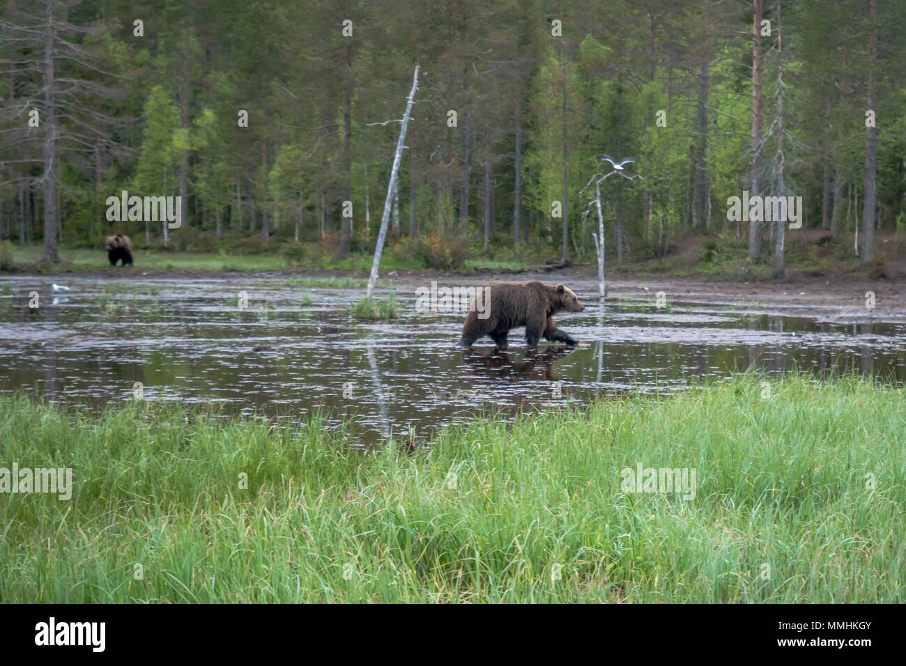 Pond with Brown Bears, in Kuusamo region, Finland - Stock Image