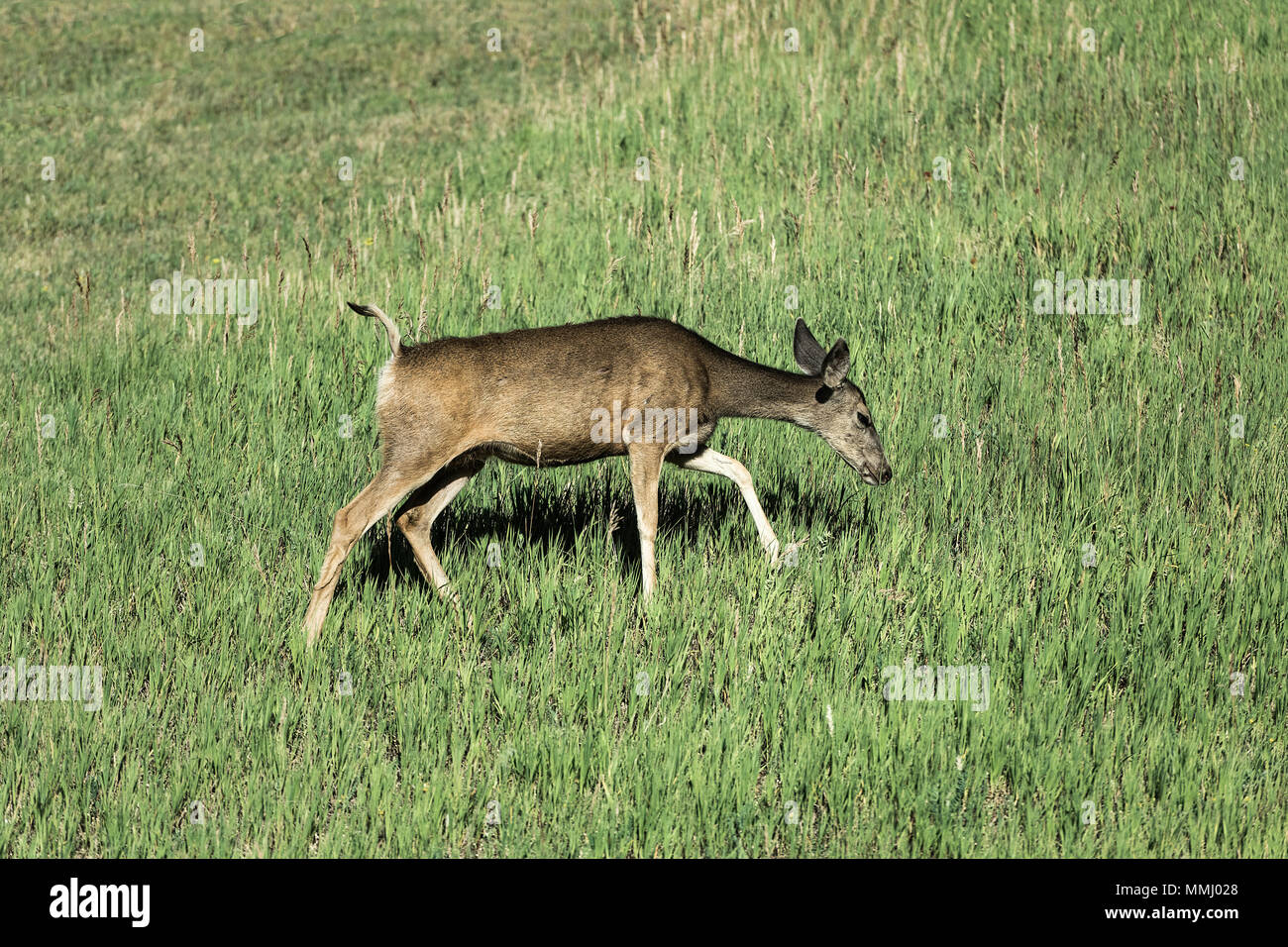 Lone deer foraging for food, Golden, Colorado, USA - Stock Image