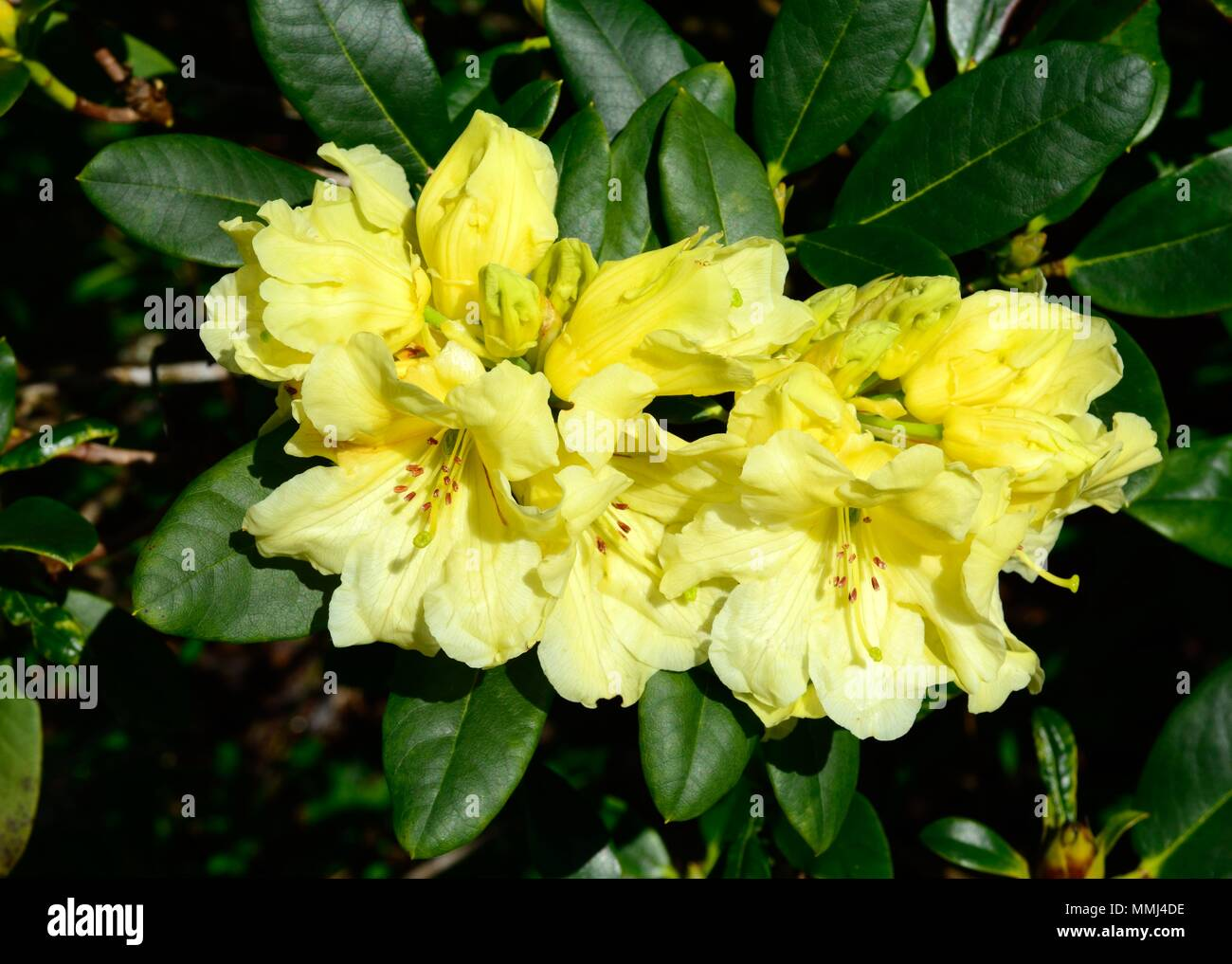 Rhododendron Yellow Petticoats Flowers Stock Photo 184795450 Alamy