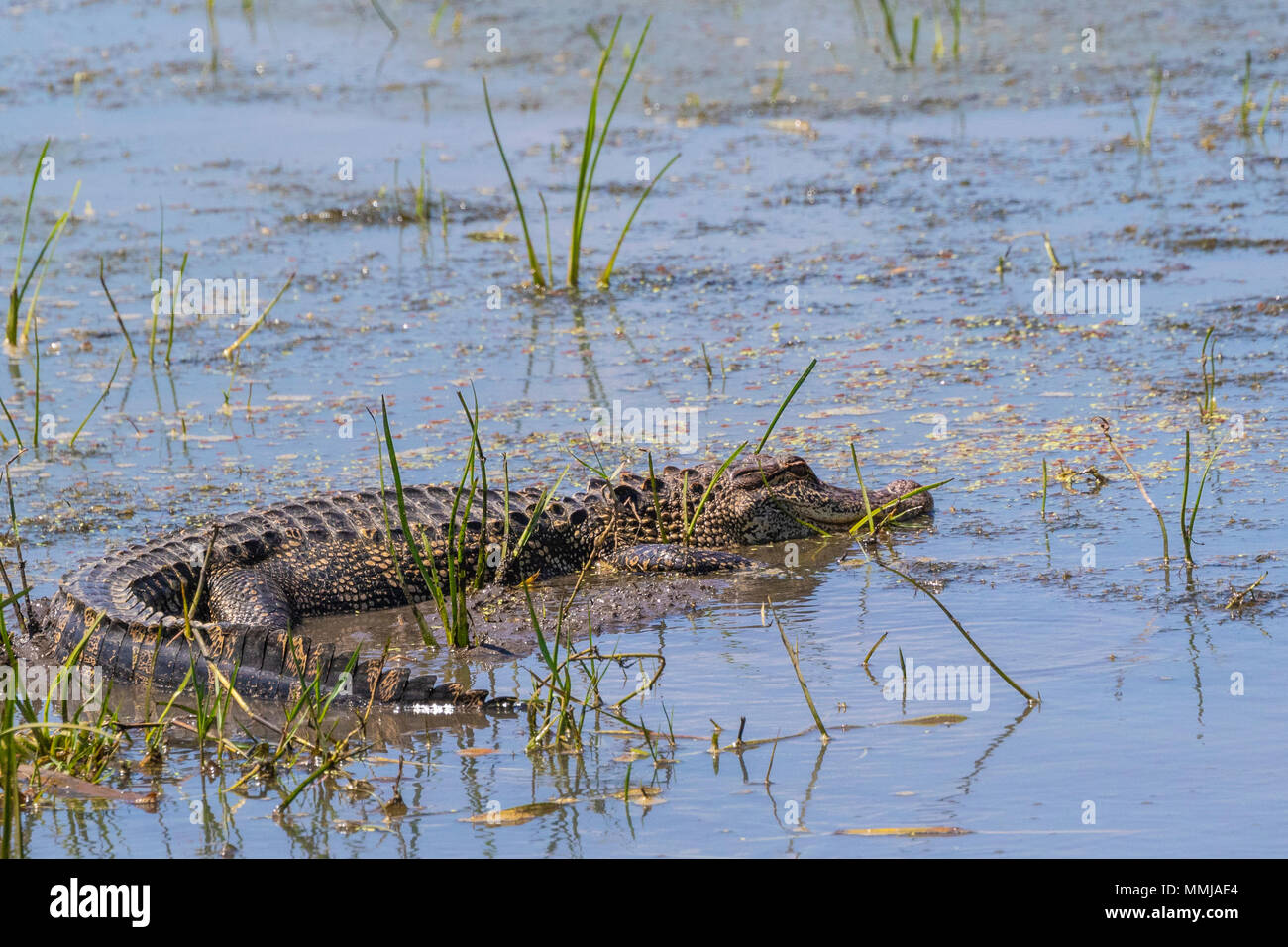 American Alligator lurking in Shoveler's Pond at Anahuac National Wildlife Refuge in Southeastern Texas. - Stock Image