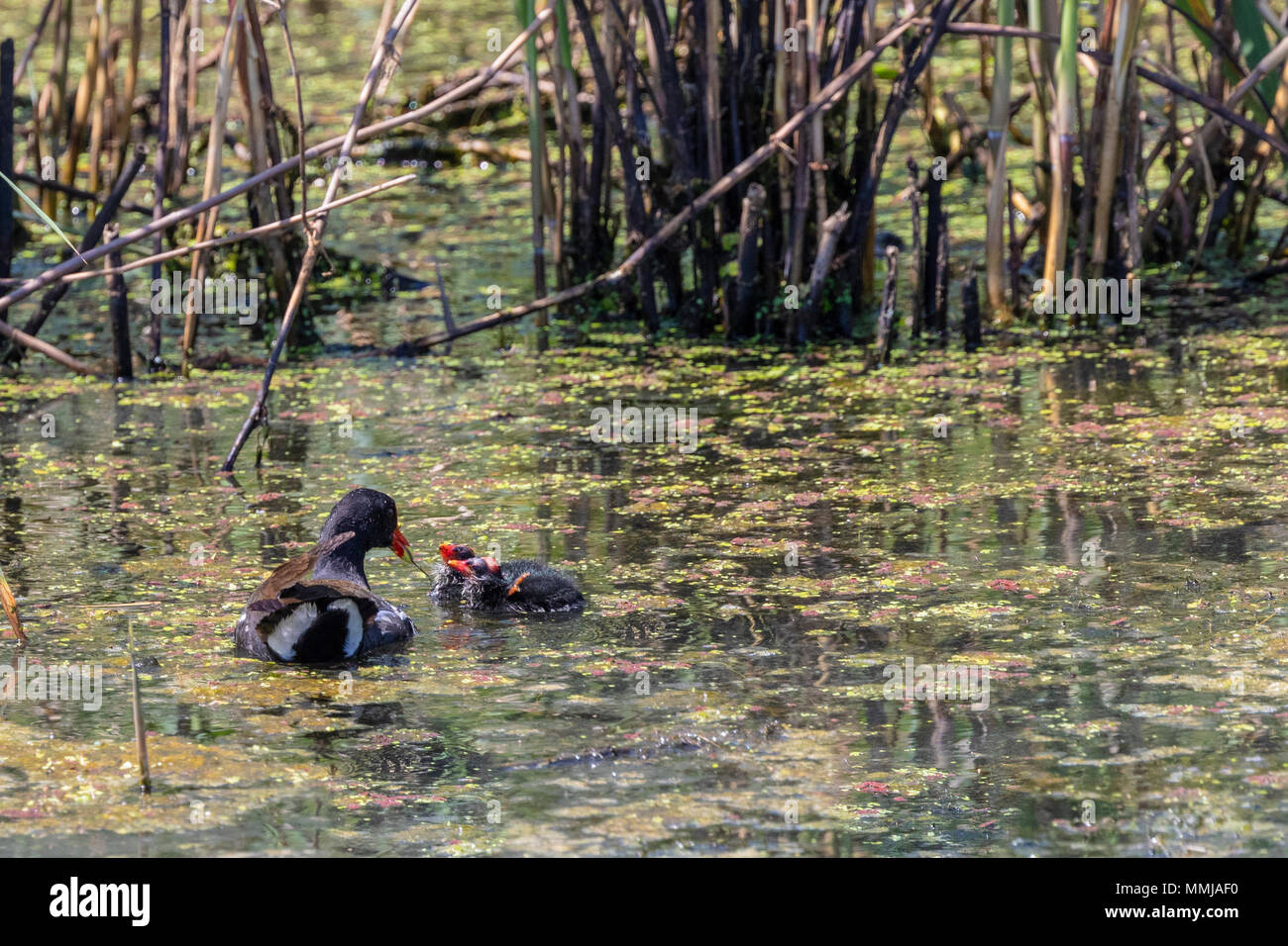 Common Gallinule with chicks at Shoveler's Pond at Anahuac National Wildlife Refuge in Southeastern Texas. Stock Photo