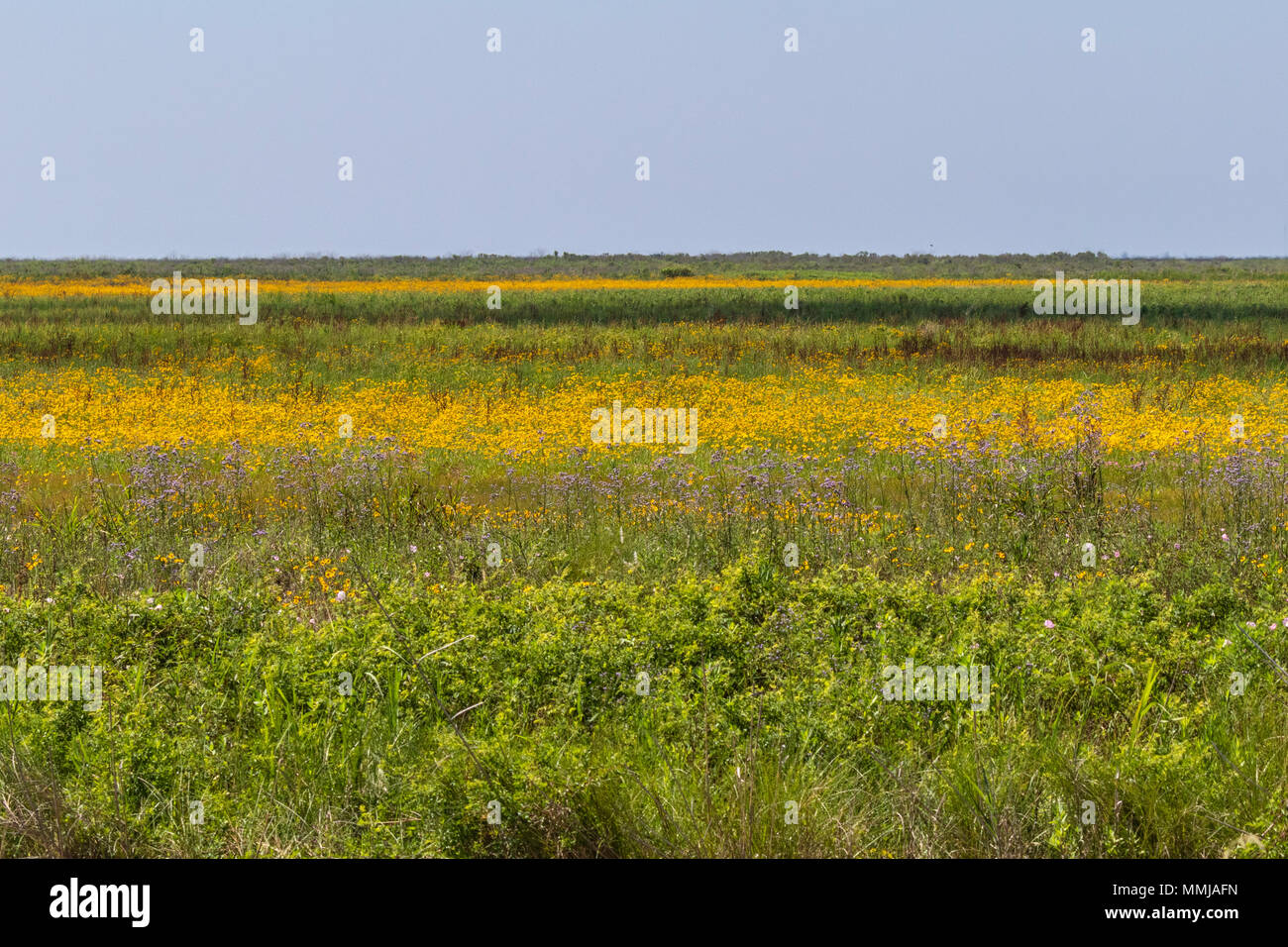 Plains Coreopsis (Tickseed) Coreopsis at Anahuac National Wildlife Refuge in Southeastern Texas. Stock Photo