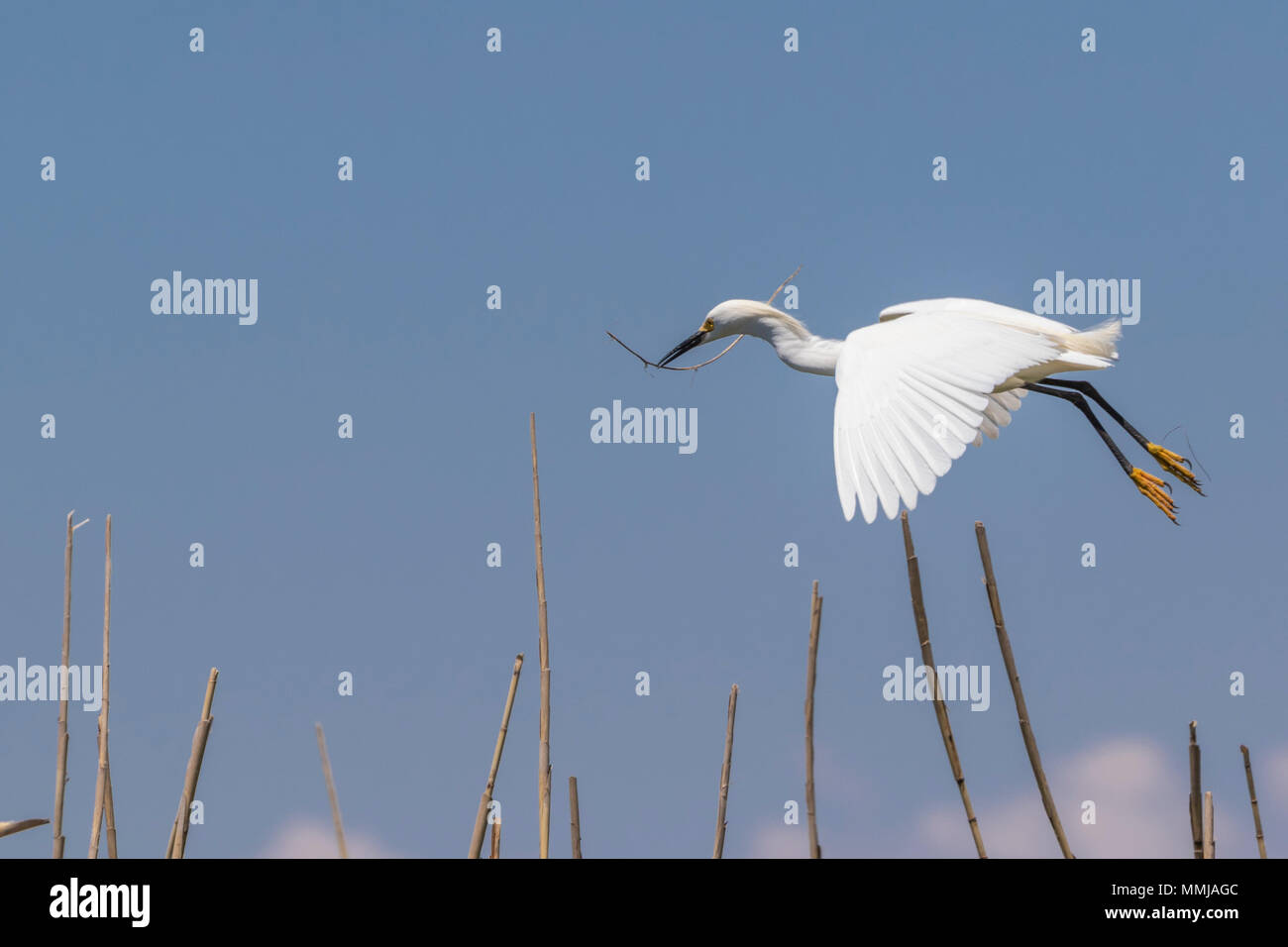 Snowy Egret in flight over Shoveler's Pond at Anahuac National Wildlife Refuge in Southeastern Texas. - Stock Image