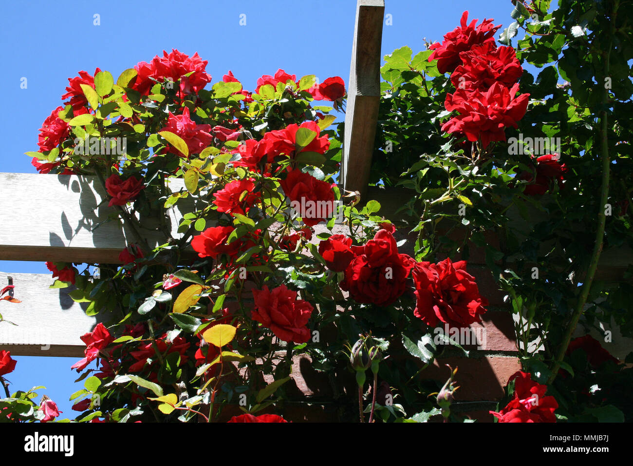 Red Climbing Roses (rosa) Over Wooden Garden Pergola, Sydney, Australia    Stock
