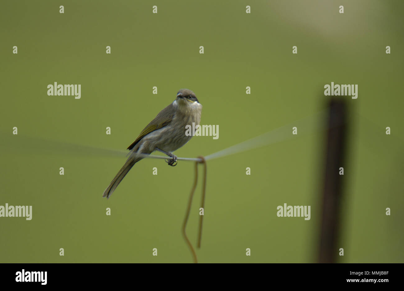 singing honeyeater (Gavicalis virescens) is a small bird found in Australlia and is part of the honeyeater family (Meliphagidae). - Stock Image