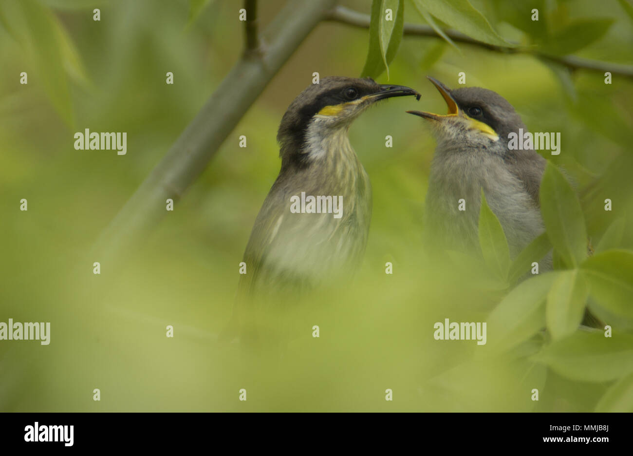 Singing Honeyeater (Gavicalis virescens) is a small bird found in Australlia and is part of the honeyeater family (Meliphagidae) Young being fed. - Stock Image