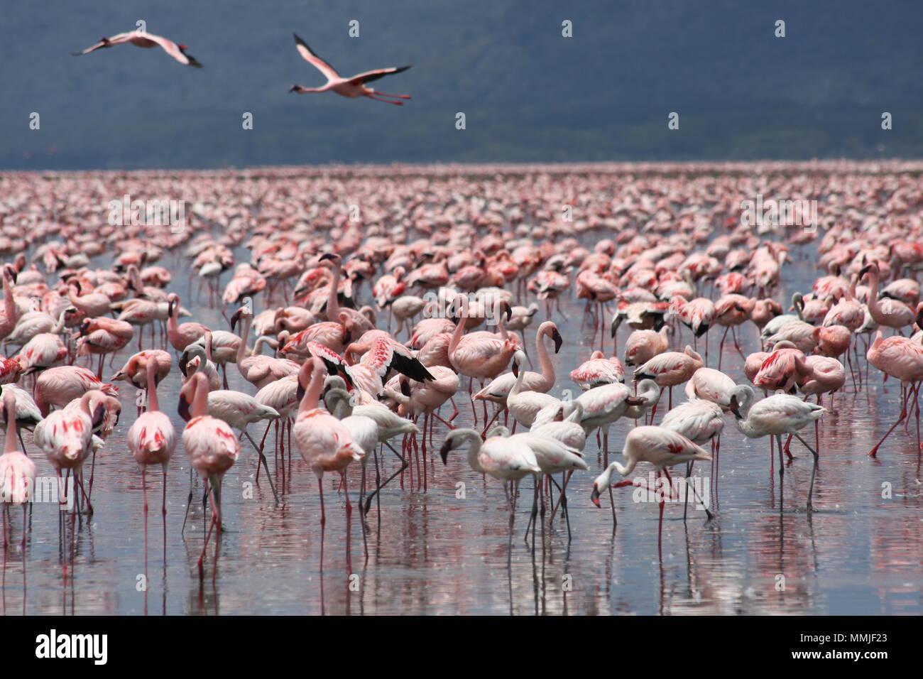 Pink Flamingos at Lake Nakuru - Stock Image