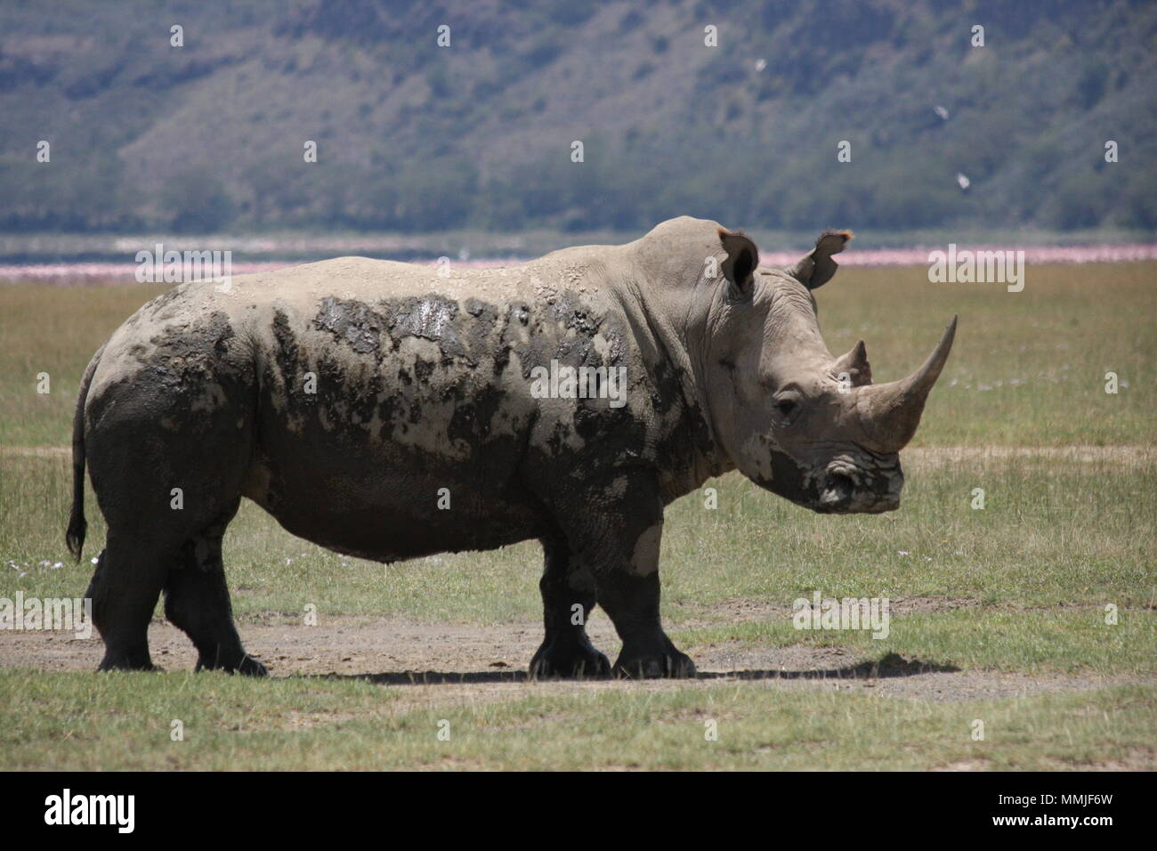 Rhino with cooling mud drying on his skin - Stock Image