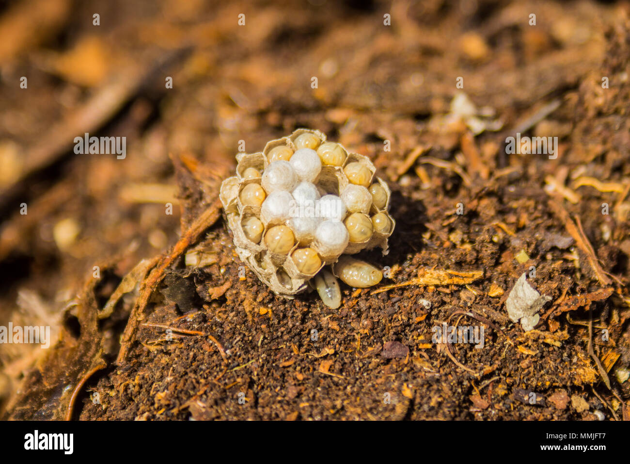 Small nest of the Common Wasp (Vespula vulgaris) showing live larvae Stock Photo