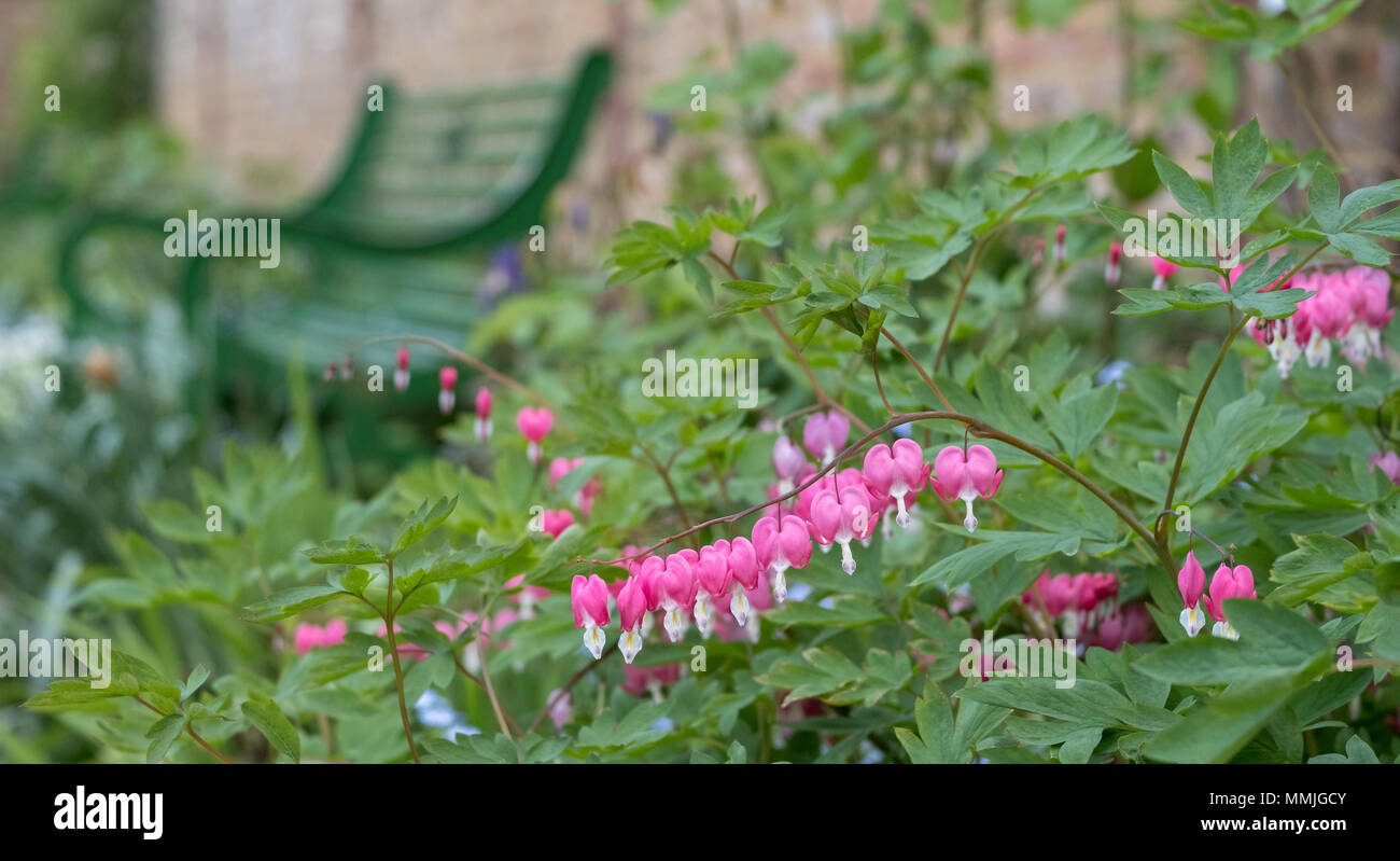 Pink And White Bleeding Heart Lady In The Bath Flowers In The