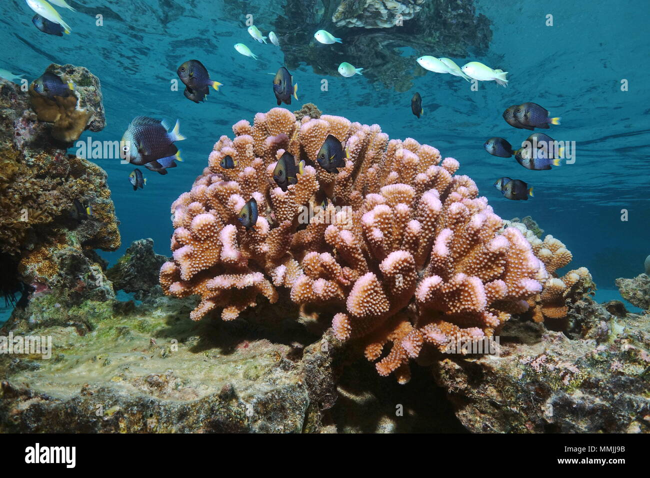 Pink cauliflower coral with tropical fish (damselfish) in shallow water, Pacific ocean, Polynesia, American Samoa - Stock Image