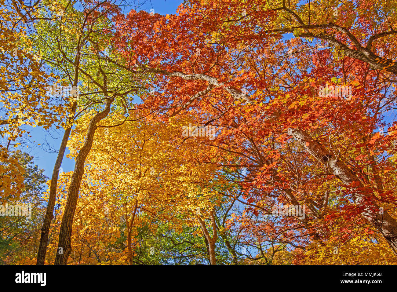 Looking up into Fall Colors in Backbone State Park in Iowa - Stock Image