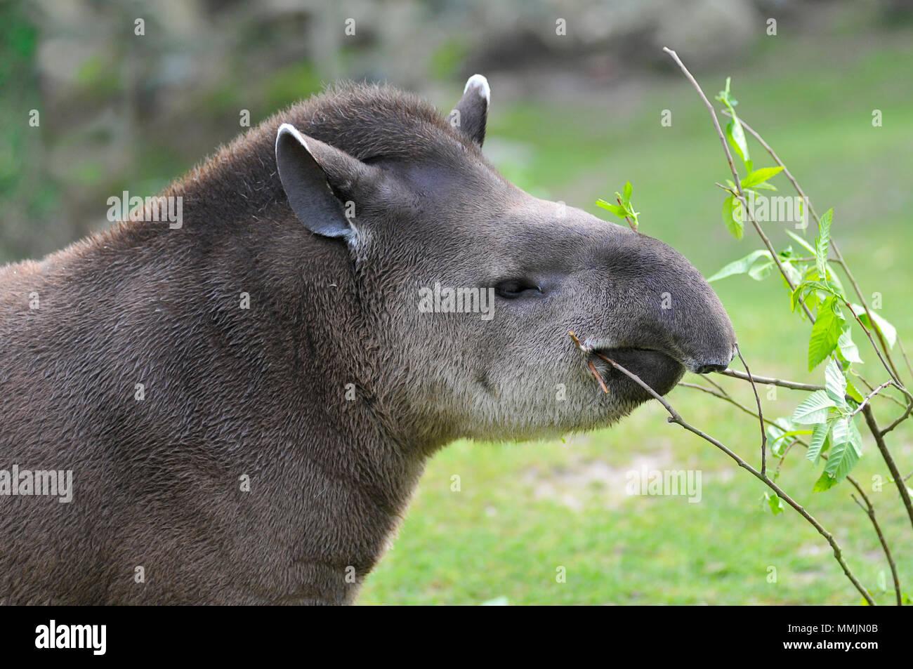Profile portrait of south American tapir (Tapirus terrestris) eating leaves - Stock Image