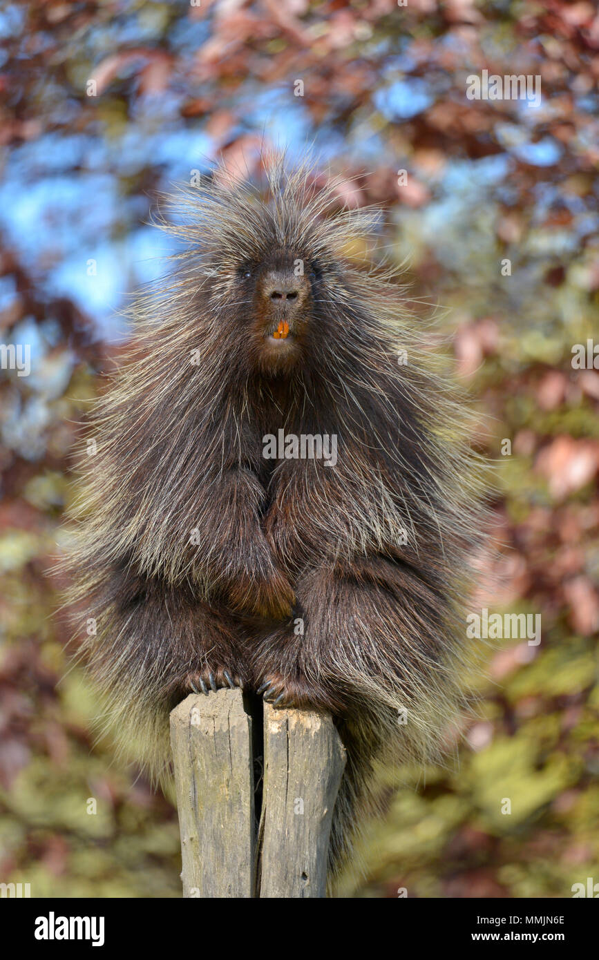 The North American porcupine (Erethizon dorsatum), also known as the Canadian porcupine or common porcupine, perched on stake with its orange incisive - Stock Image