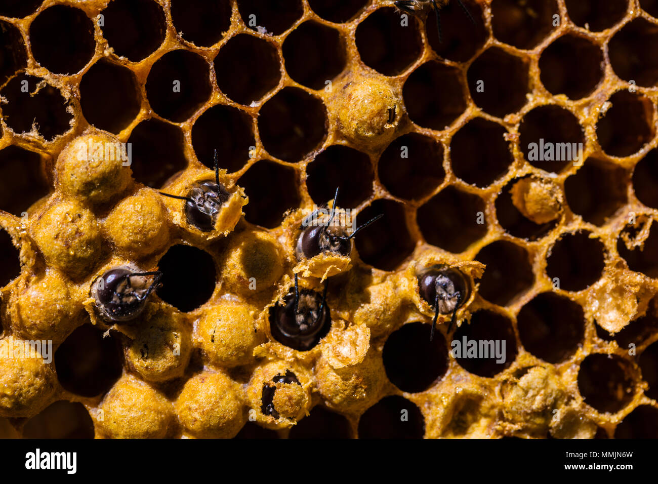 Newborn bee hatch from pilo on honeycomb in hive - Stock Image