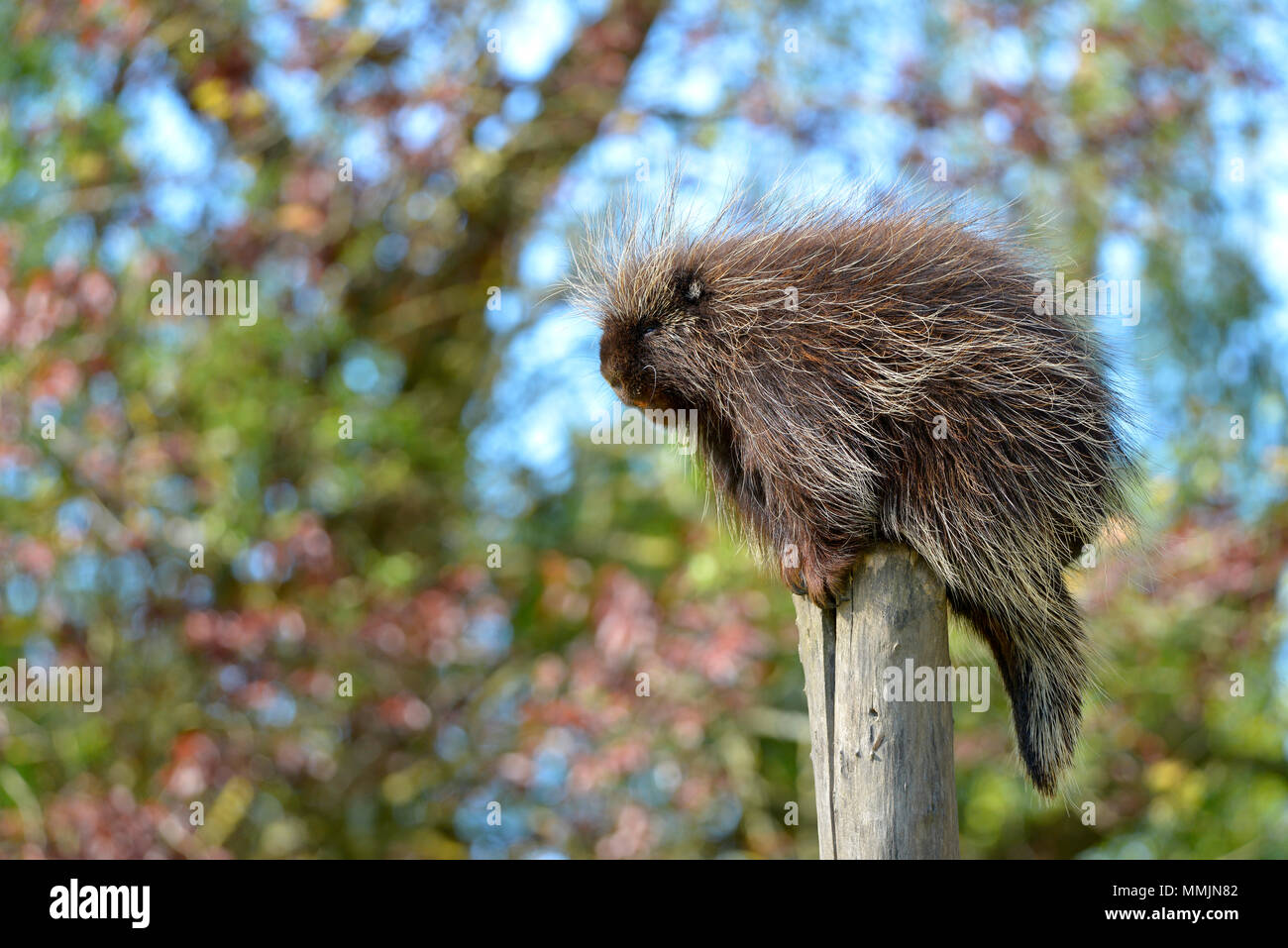 The North American porcupine (Erethizon dorsatum), also known as the Canadian porcupine or common porcupine, perched on stake - Stock Image