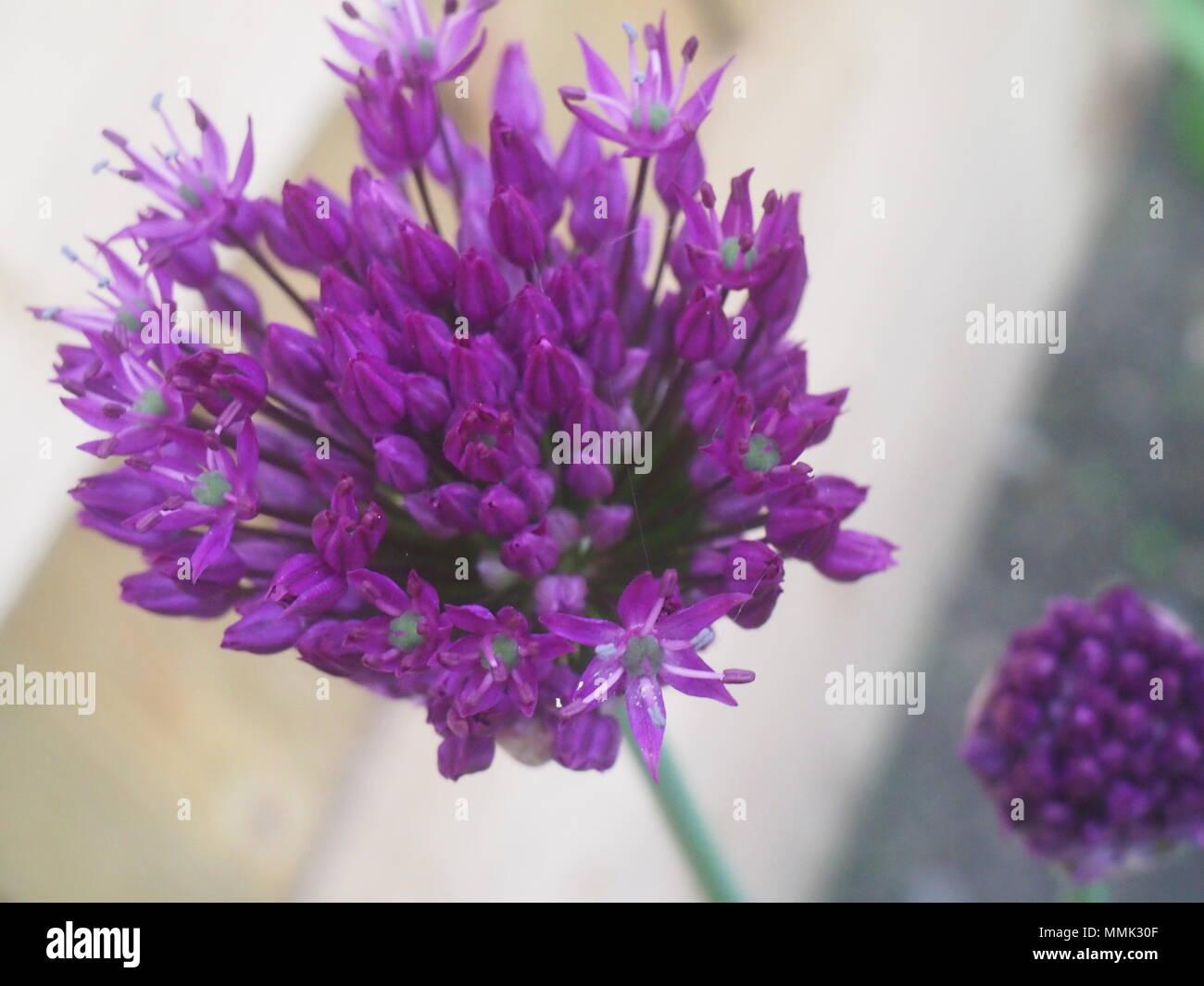 Purple Allium flowers partly open - Stock Image