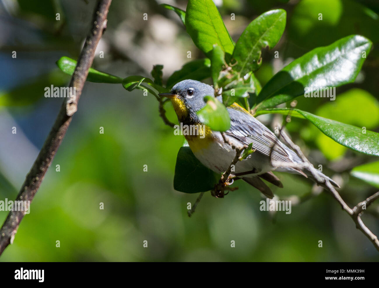 A Northern Parula (Setophaga americana) perched on a branch. High Island, Texas, USA. - Stock Image