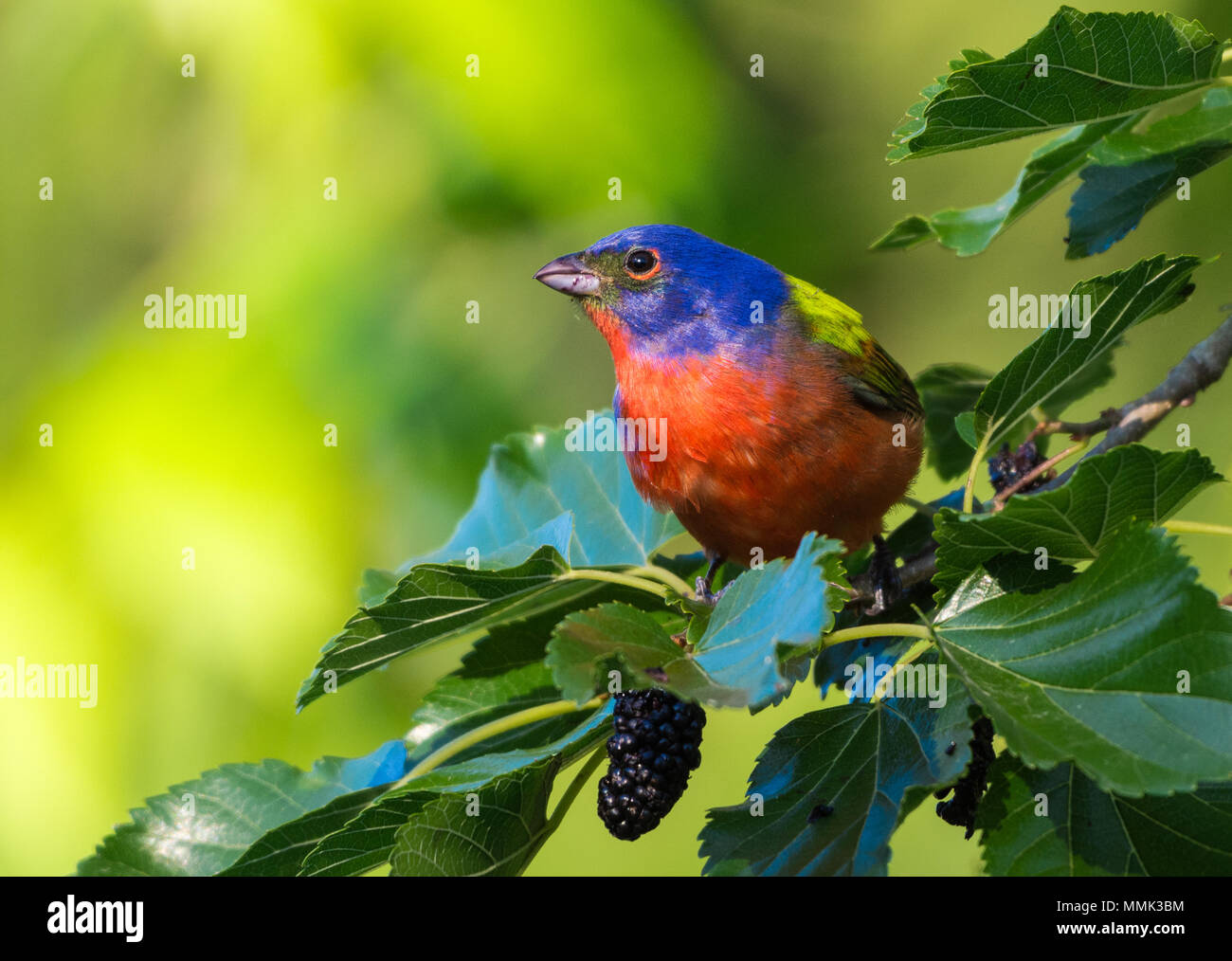 A colorful Painted Bunting (Passerina ciris) foraging on a mulberry tree. High Island, Texas, USA. - Stock Image