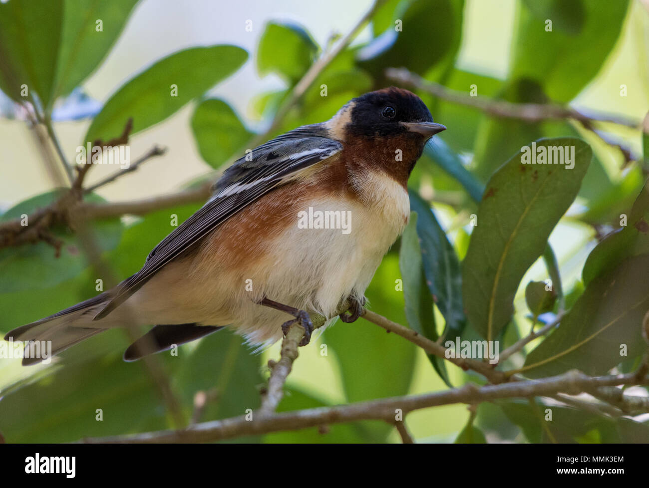 A Bay-breasted Warbler (Setophaga castanea) perched on a branch. High Island, Texas, USA. - Stock Image