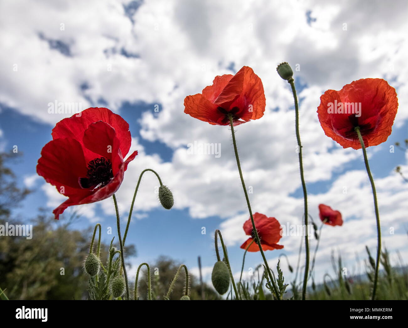 Crimea Russia 12th May 2018 Poppy Flowers In Bloom In The