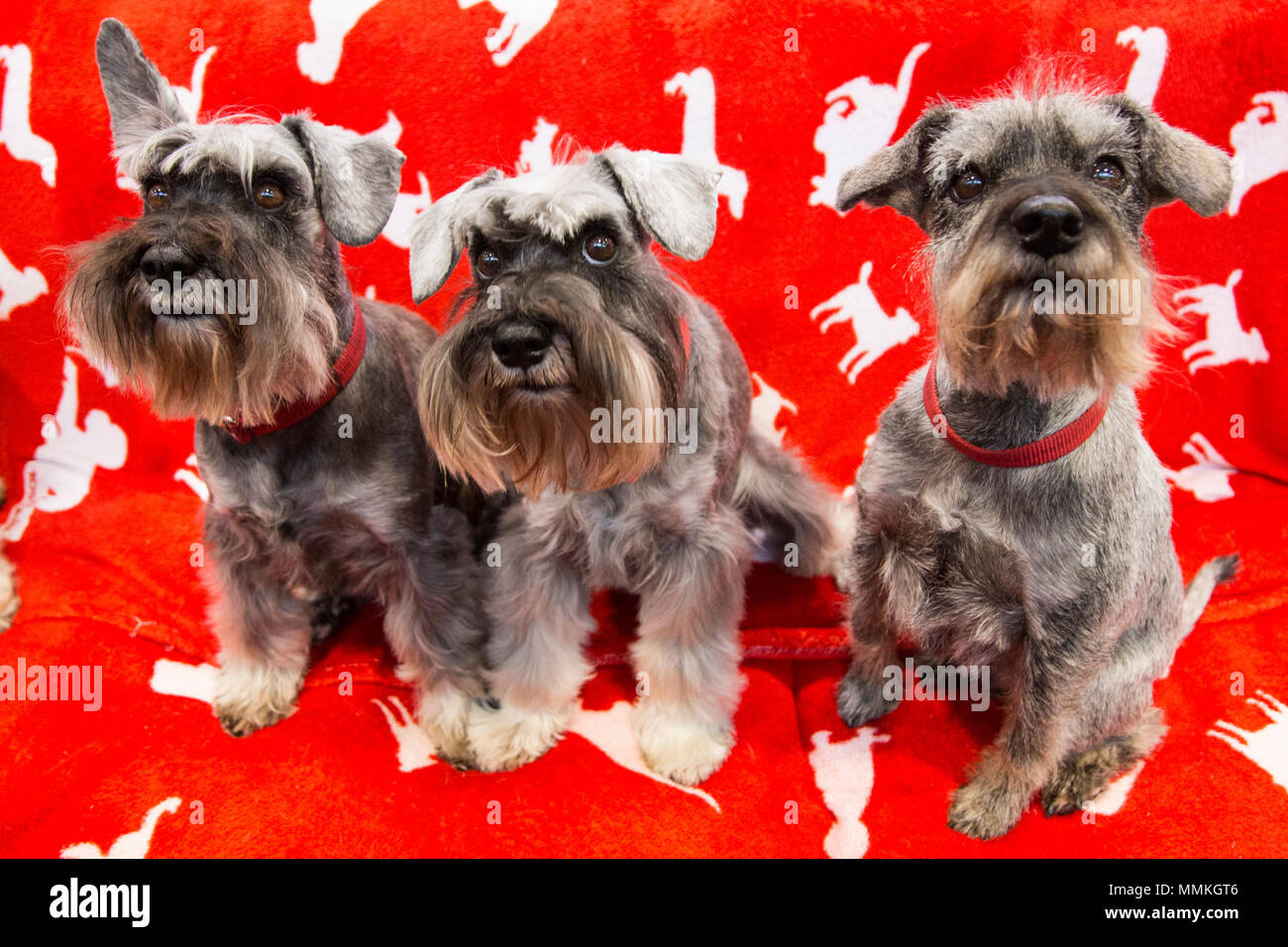 Dortmund, Germany  12 May 2018  Miniature Schnauzers that are used
