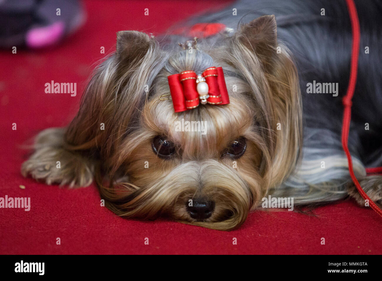 Dortmund, Germany. 12 May 2018. Yorkshire Terrier before a competition. One of the largest dog and cat shows Hund & Katz takes place with more than 8000 dogs from 250 different breeds from 11 to 13 May at Westfalenhallen trade fair in Dortmund. Credit: 51North/Alamy Live News - Stock Image