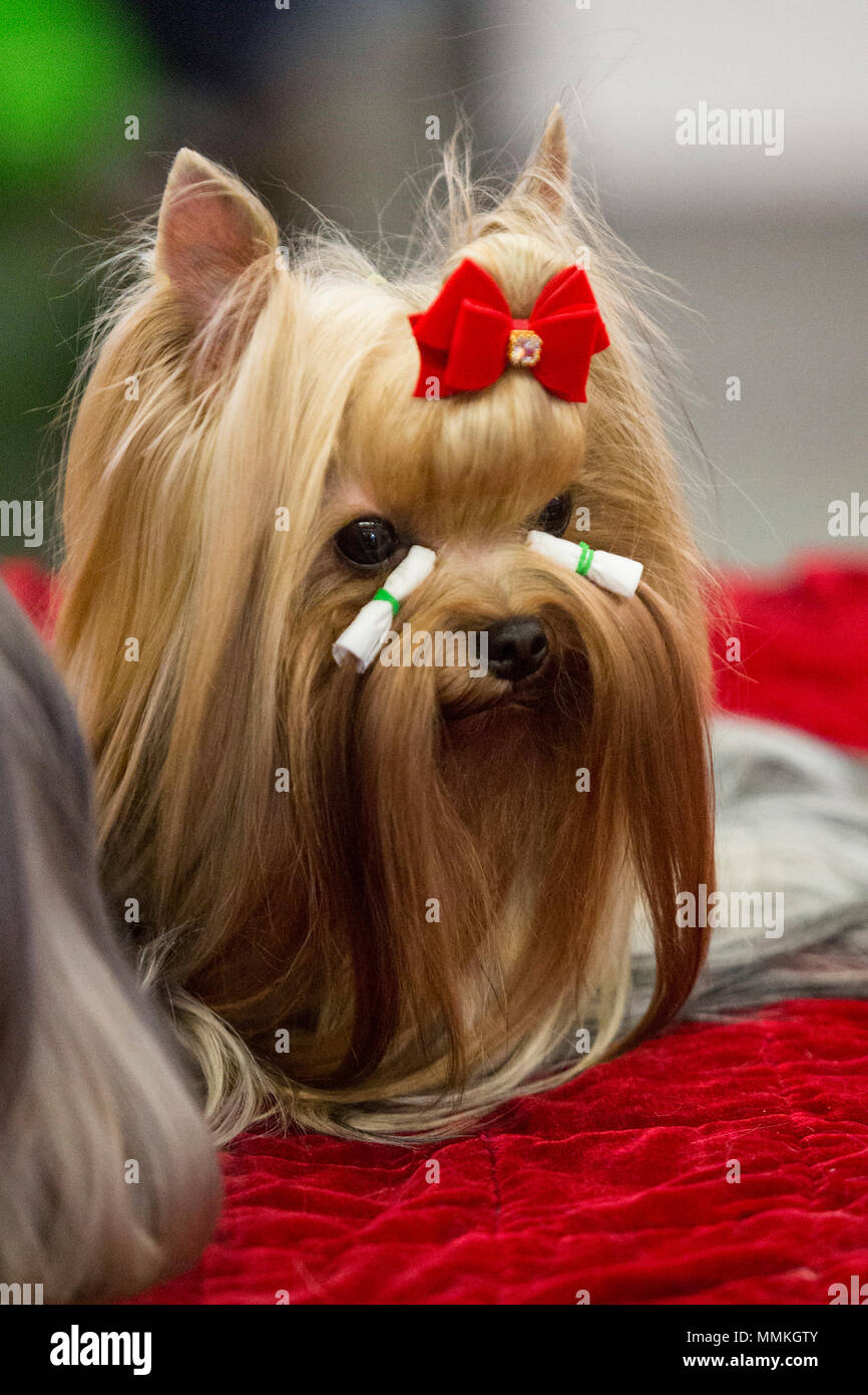 How many Yorkshire Terriers live