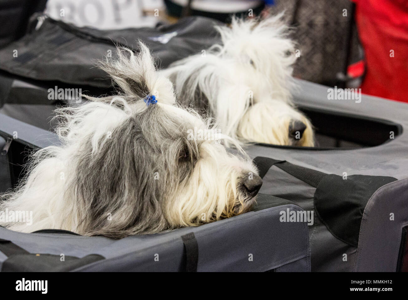 Dortmund, Germany. 12 May 2018. Two Bobtails relaxing. One of the largest dog and cat shows Hund & Katz takes place with more than 8000 dogs from 250 different breeds from 11 to 13 May at Westfalenhallen trade fair in Dortmund. Credit: 51North/Alamy Live News - Stock Image