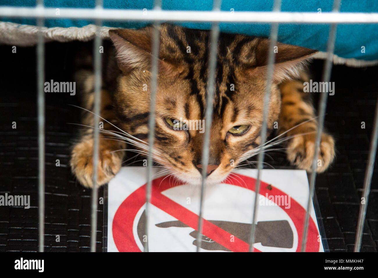 Dortmund, Germany. 12 May 2018. Bengal cat in a cage. One of the largest dog and cat shows Hund & Katz takes place with more than 8000 dogs from 250 different breeds from 11 to 13 May at Westfalenhallen trade fair in Dortmund. Credit: 51North/Alamy Live News - Stock Image