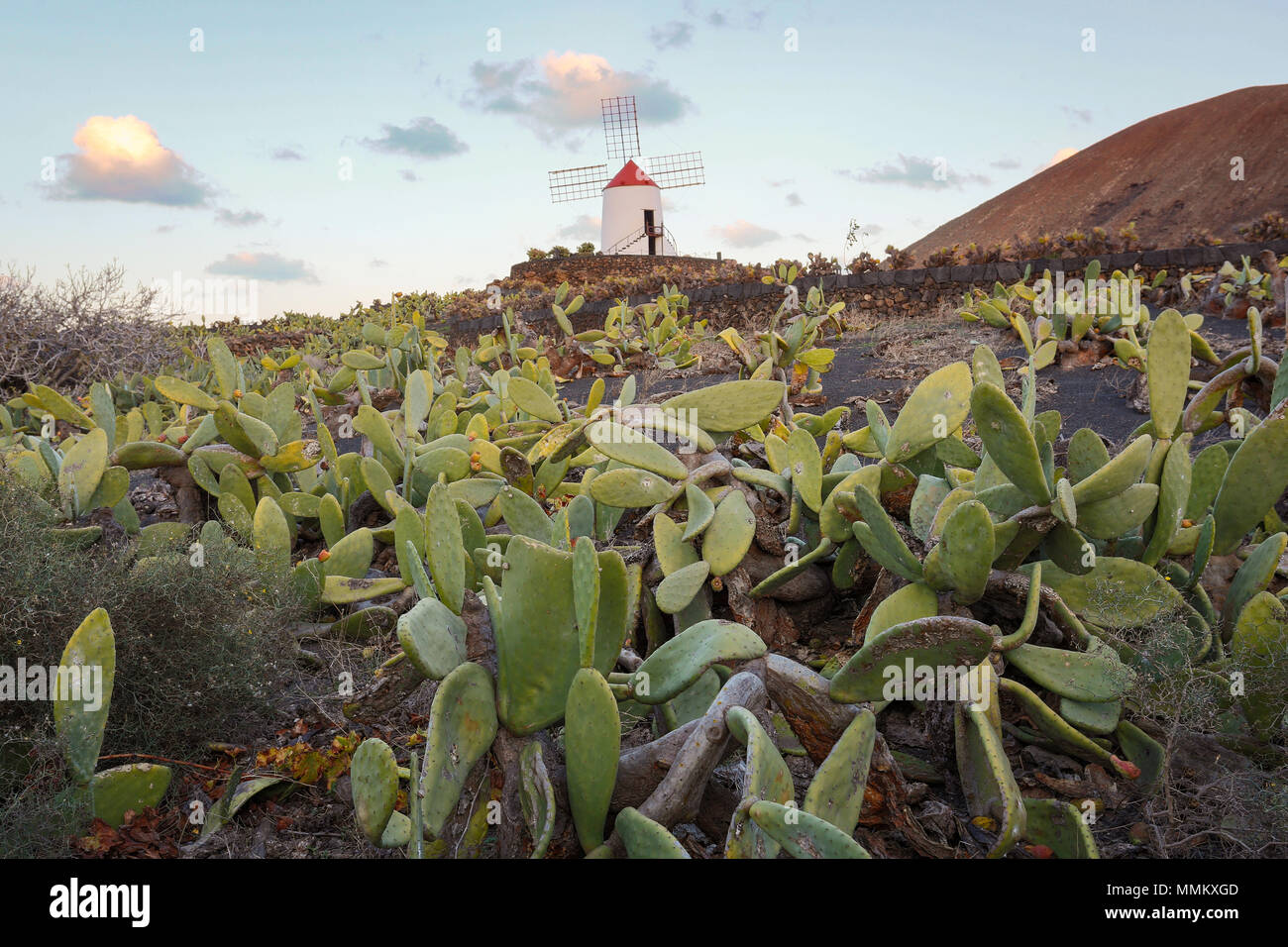 LANZAROTE, CANARY ISLANDS, SPAIN, EUROPE: Cochnieal farm - a field of cacti with the windmill of the Cactus Garden in the background. - Stock Image