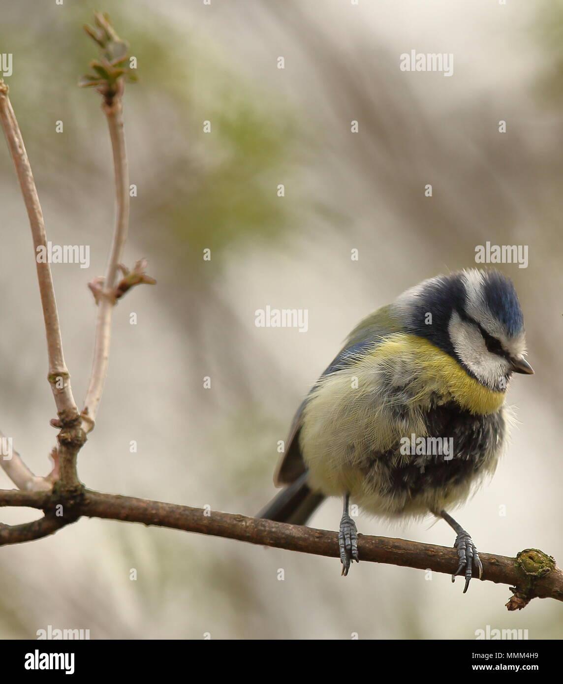 Bluetit taken at Victoria park, widnes, cheshire, england - Stock Image