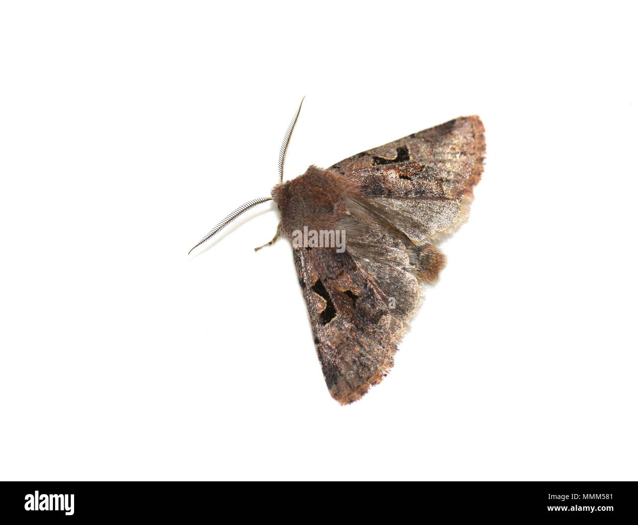Hebrew Character moth Orthosia gothica showing hind wings on white background - Stock Image
