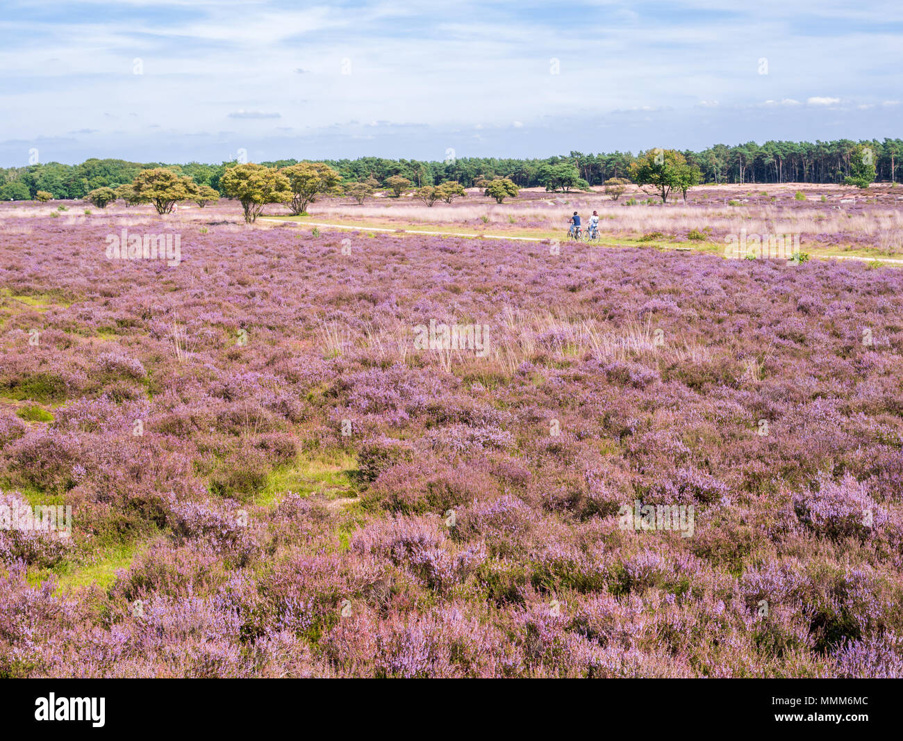 People riding bicycle on path and panorama of purple heather in bloom in nature reserve Zuiderheide near Hilversum, Gooi, Netherlands Stock Photo