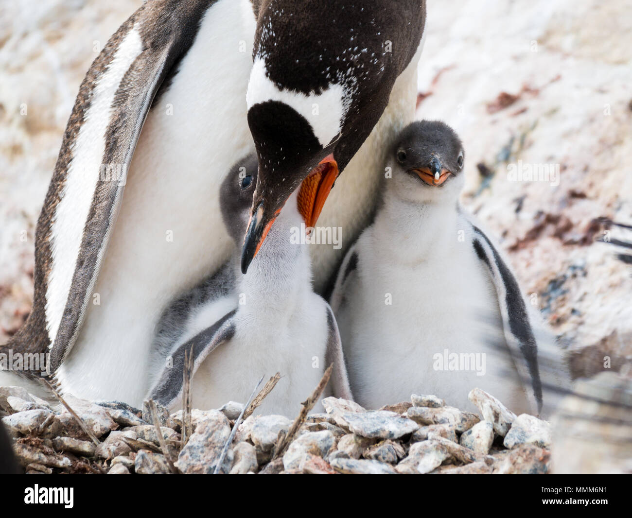 Gentoo penguin, Pygoscelis papua, mother feeding a hungry chick on nest in colony on Cuverville Island, Antarctic Peninsula, Antarctica Stock Photo