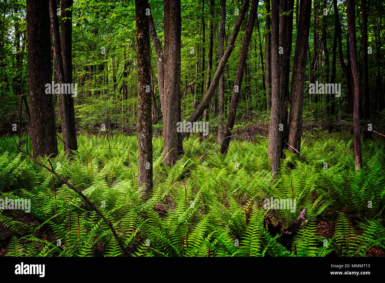 Hundreds of ferns on the forest floor during spring. Seen at Oak Openings park in Swanton Ohio. Stock Photo
