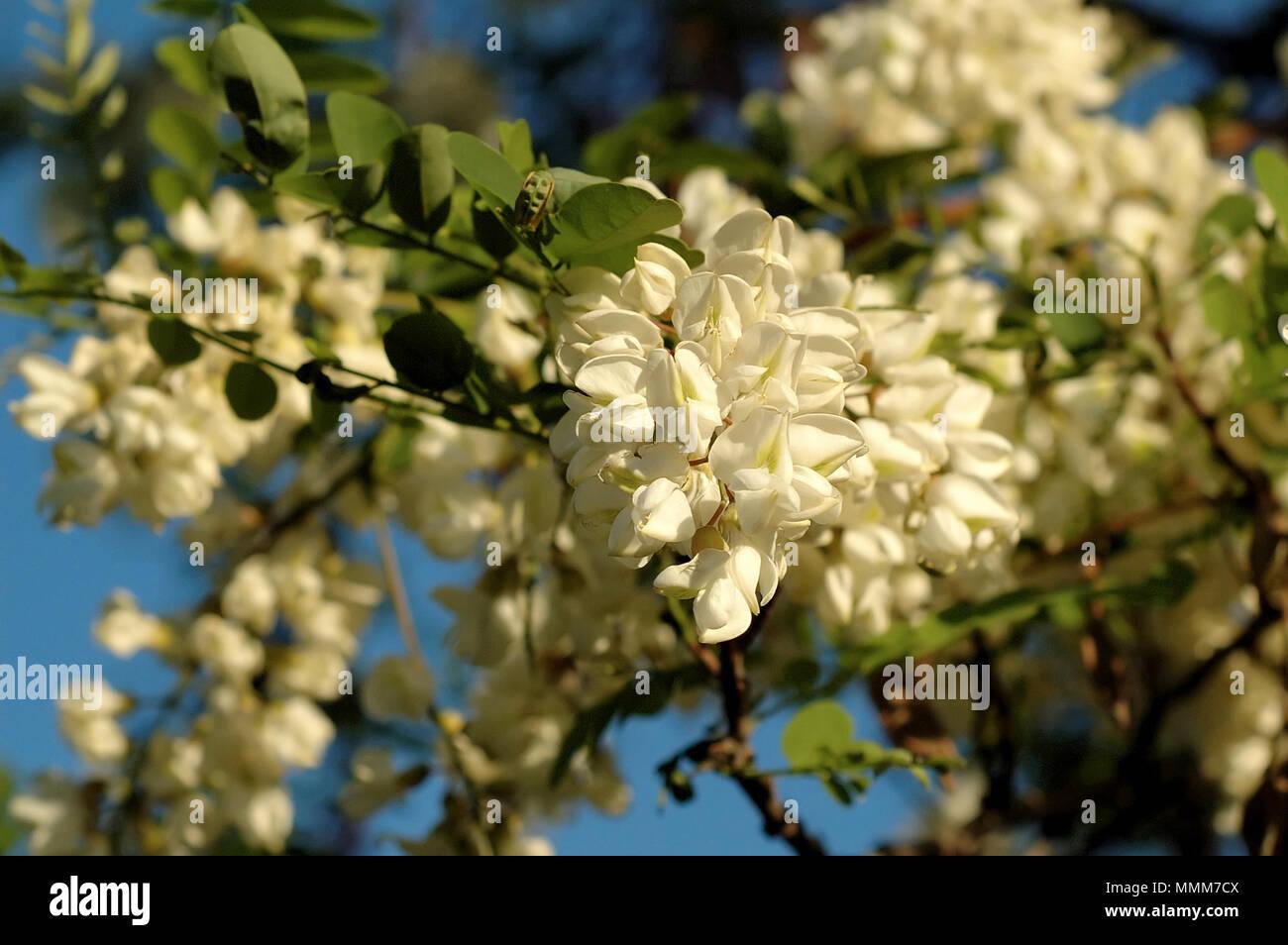 Acacia tree blooms white flowers stock photo 184841690 alamy acacia tree blooms white flowers mightylinksfo
