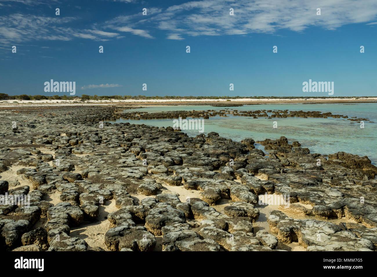 The Hamelin Pool Stromatolites, oldest living organismes on Earth, near Denham in Western Australia. - Stock Image