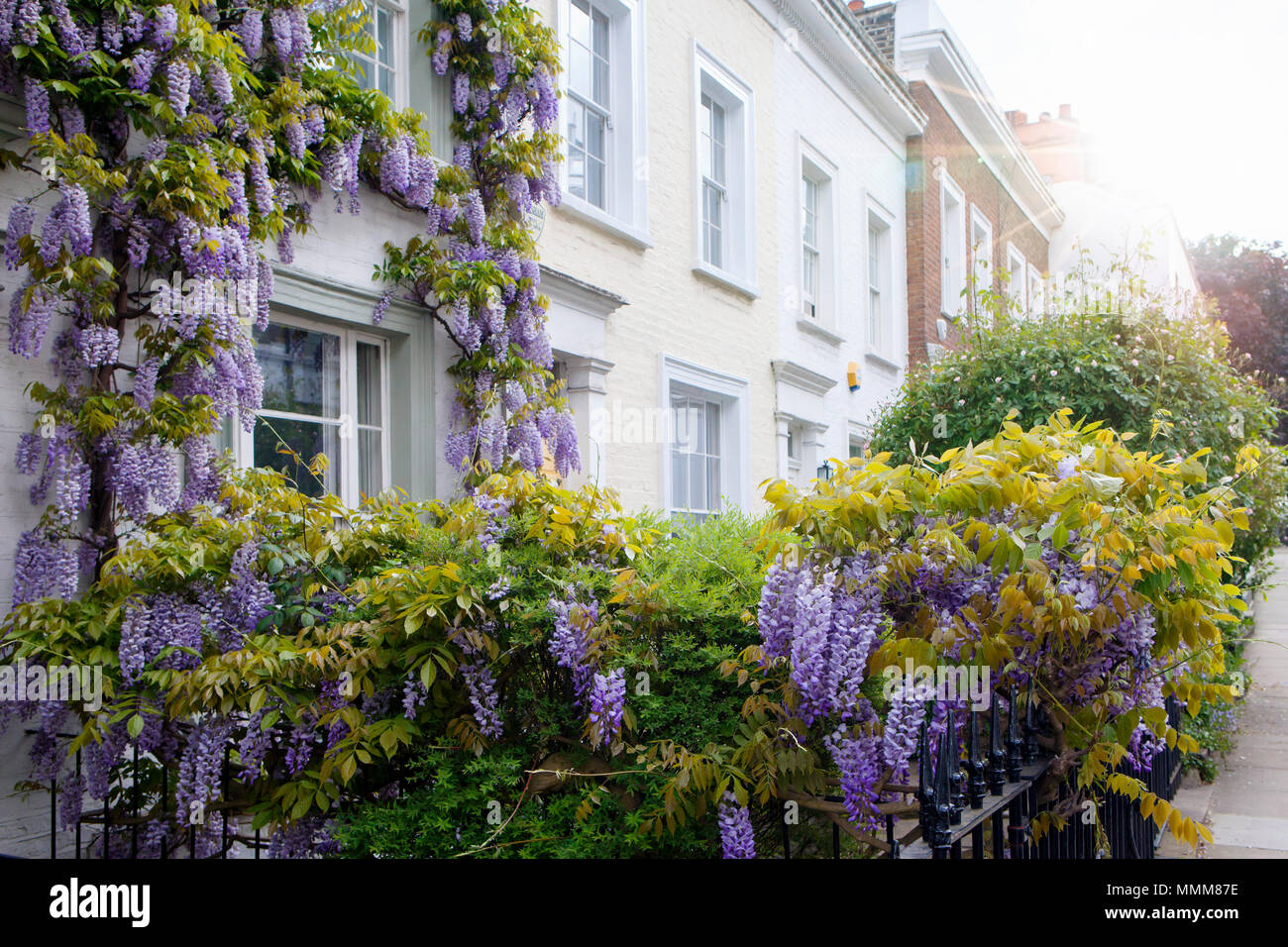 LONDON, UK - MAY 10th, 2018: Blooming wisteria is covering a building in Central London, near affleunt area of Notting Hill. - Stock Image