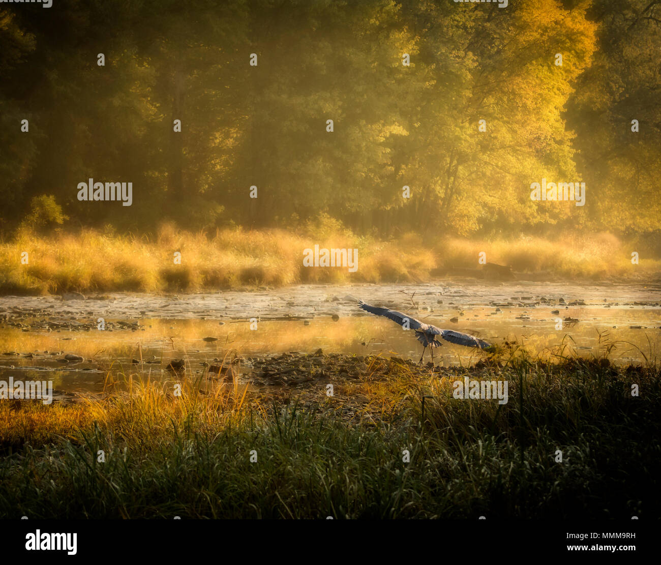 Taken on the Scenic Maumee River in Northwest Ohio. A Great Blue Heron flying low over the river which is surrounded by trees with autumn colors. - Stock Image